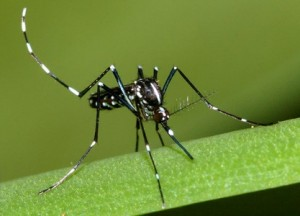 Asian tiger mosquito (photo - Susan Ellis (www.bugwood.org)