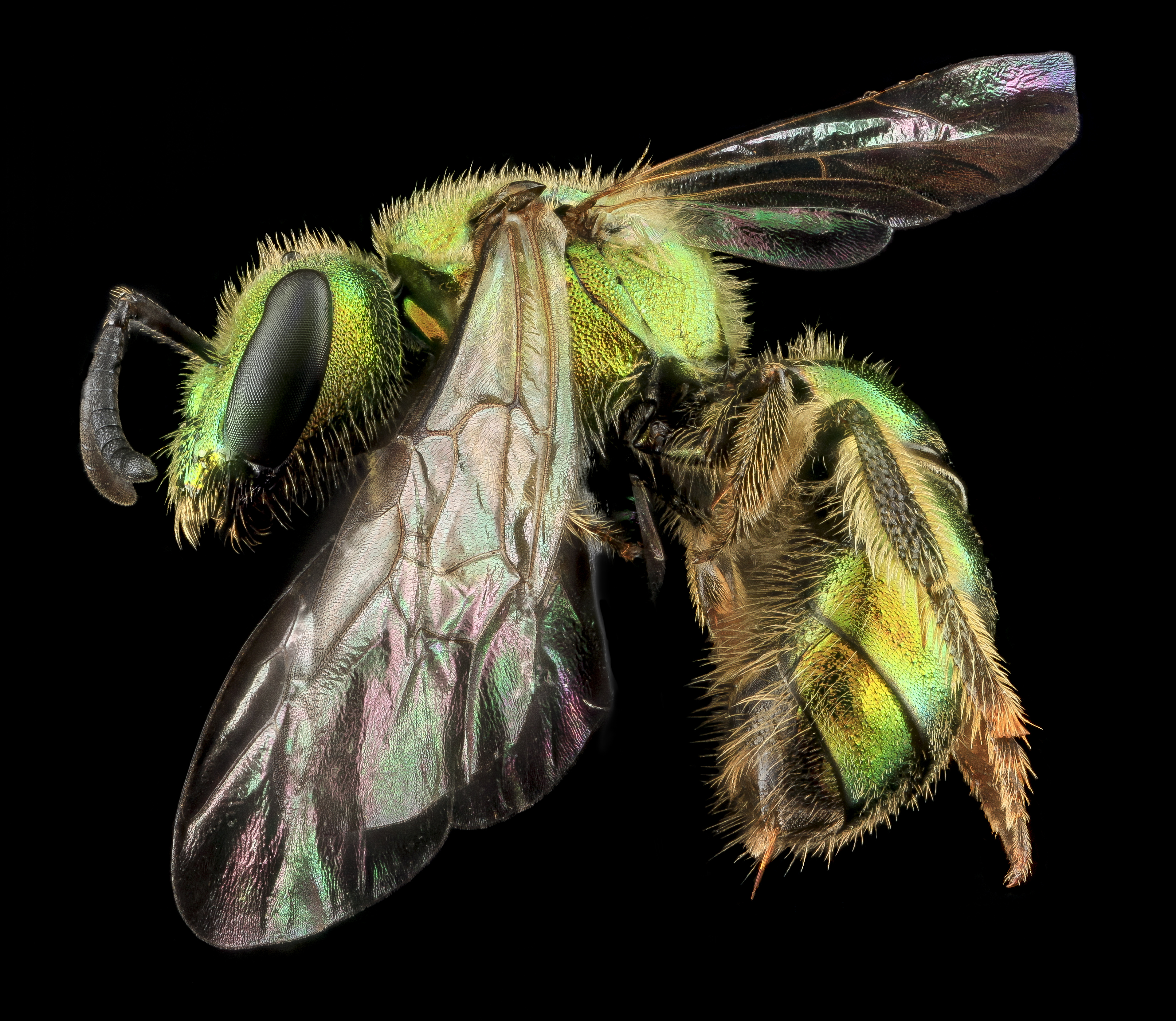 Augochlorella aurata. Photo: Sam Droege