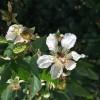 bee on blackberry bloom