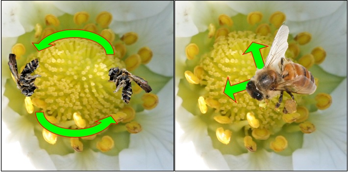 Complementary pollination through differences in size and behavior.