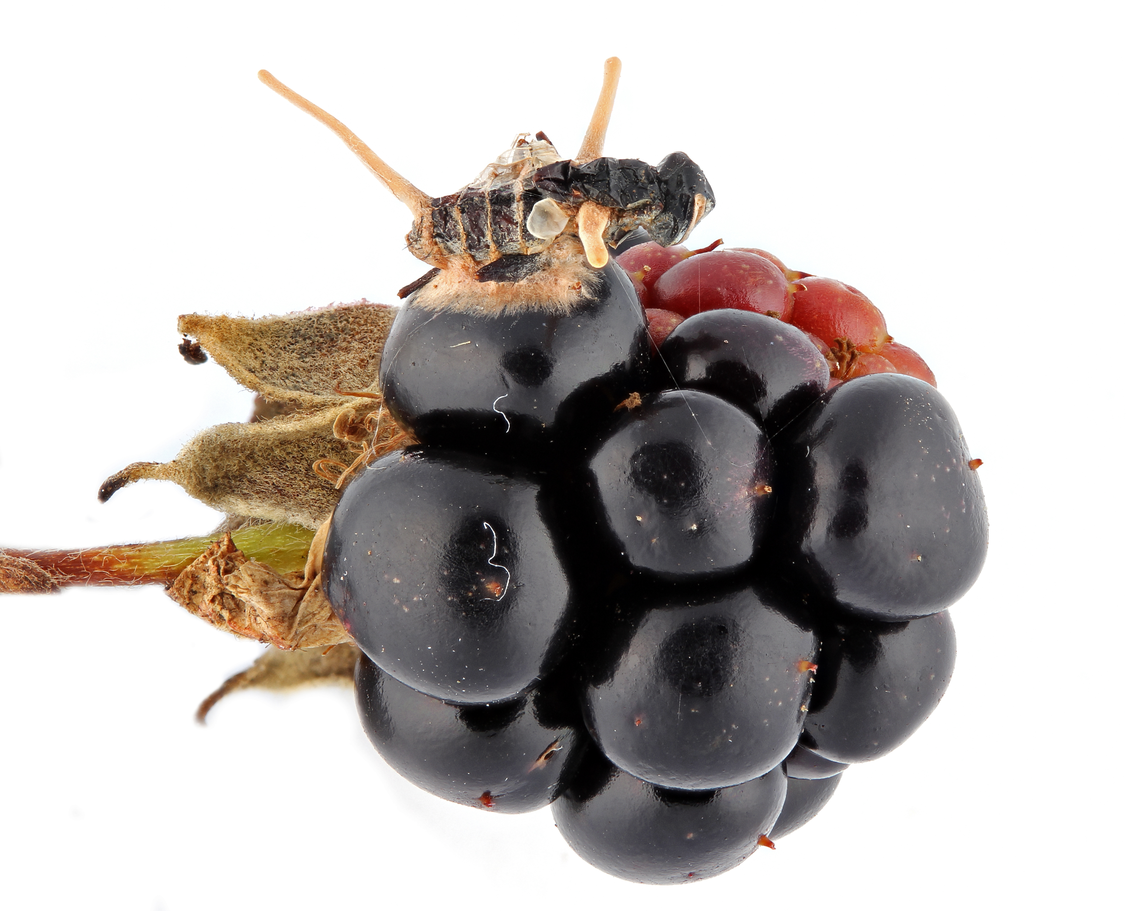 Infected fly collected from Piedmont  Research Station. Three projects from the fly's body are fruiting bodies of the parasitic fungus, Cordyceps, which also has extended hyphae to attach the fly body to the blackberry fruit