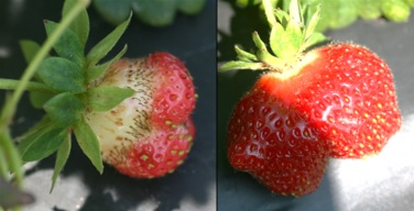 Poorly pollinated berry (left) and a misshapen berry (right). Photo: Jeremy Slone