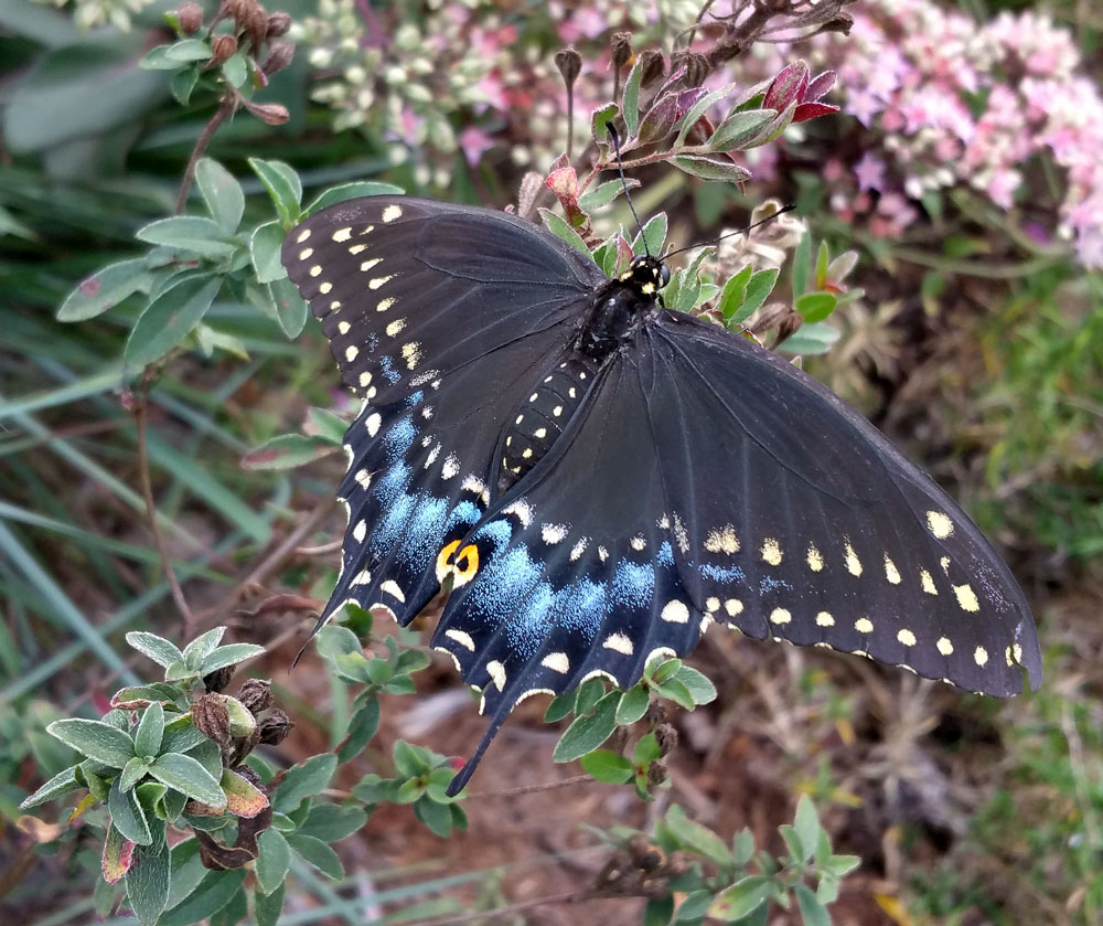 Gorgeous black swallowtail. Photo by Debbie Roos.