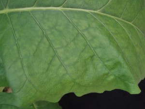 Figure 3. The pattern of interveinal chlorosis will eventually spread to the center of the leaf, as may be seen here. ©2016 Forensic Floriculture