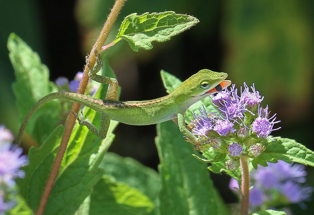 A young Carolina anole snatches a bee from the wild ageratum. Photo by Debbie Roos.