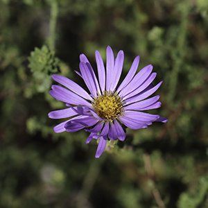 Large-flower American aster