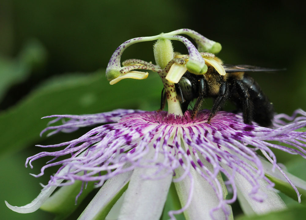 Carpenter bee sipping nectar from a purple passionflower bloom. Photo by Debbie Roos.