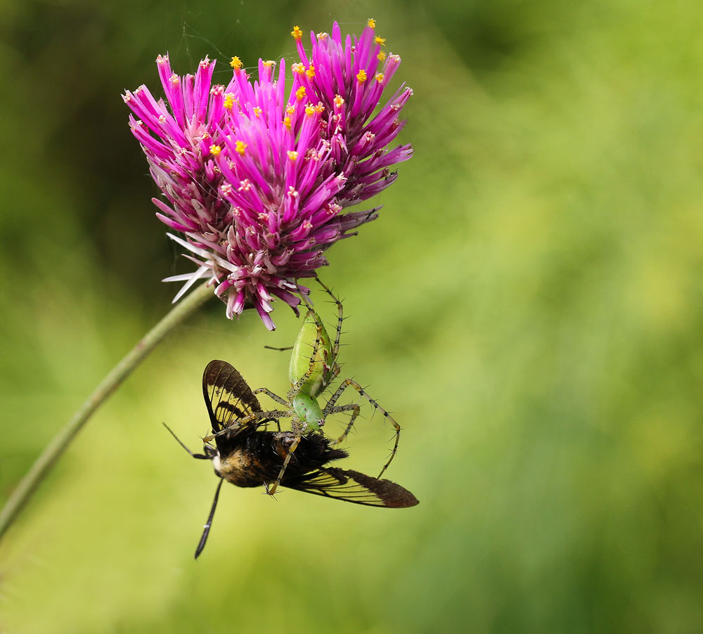 Green lynx spider enjoying a hummingbird moth meal while suspended from a globe amaranth flower. Photo by Debbie Roos.