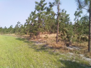 Young longleaf pine damaged by high winds
