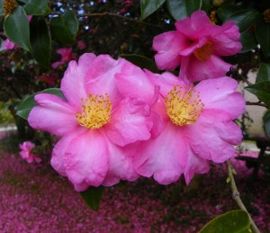 Fall blooming camellia