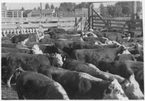 Cattle_in_stockyard