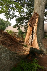 Oak tree damaged in storm