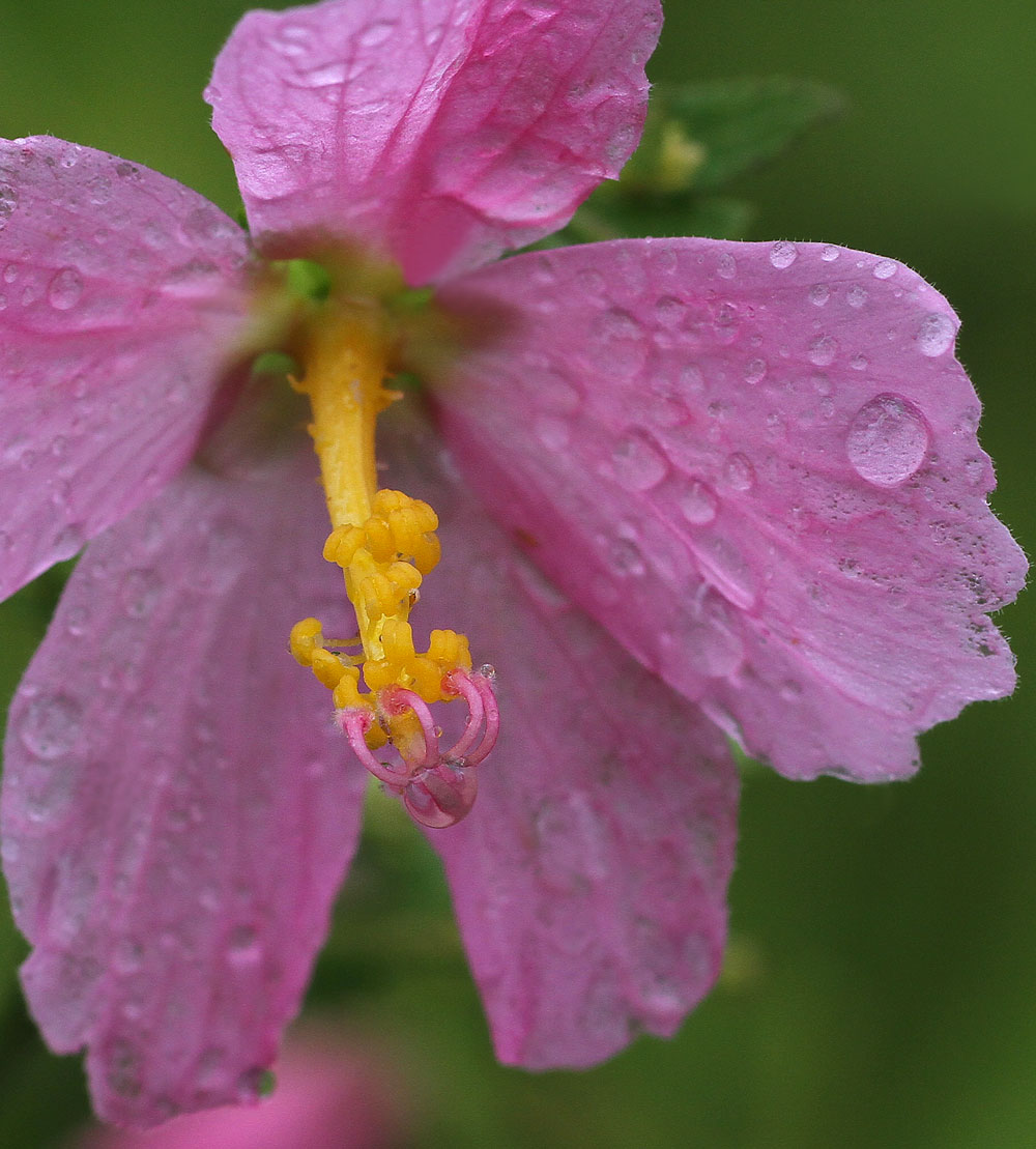 Seashore mallow after a rain. Photo by Debbie Roos.