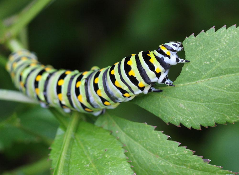 Black swallowtail caterpillar enjoying golden alexander. Photo by Debbie Roos.