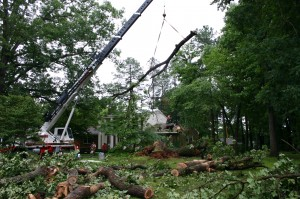 Downed Large Oak being removed