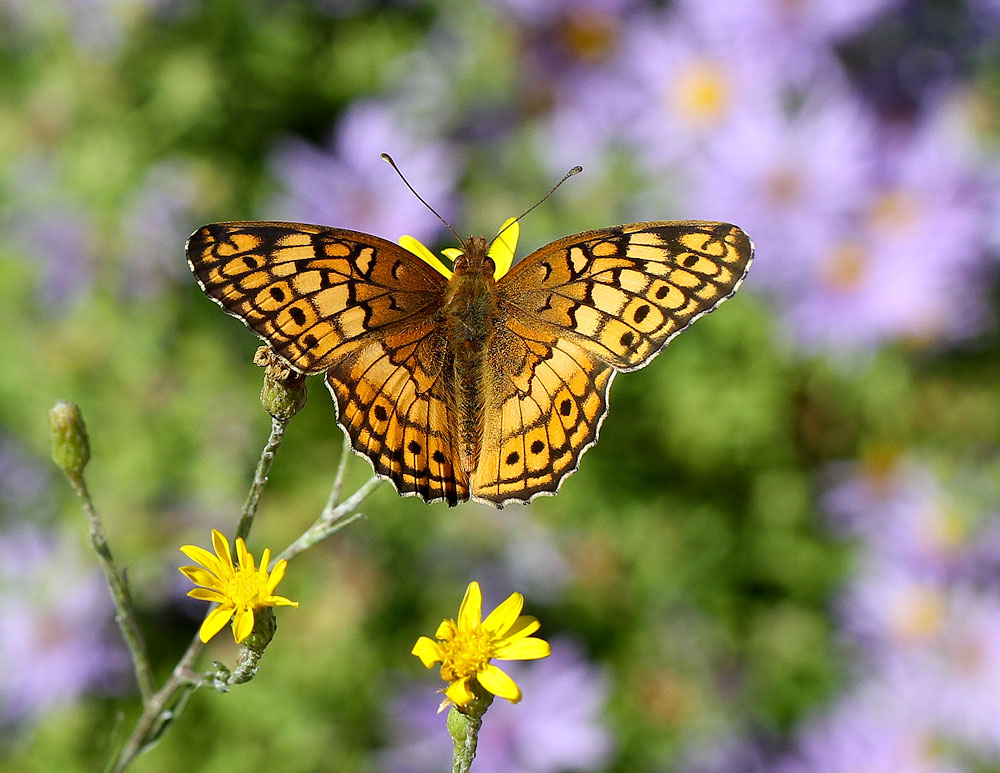 This lovely variegated fritillary was nectaring on narrowleaf silkgrass (Pityopsis graminifolia). Photo by Debbie Roos.