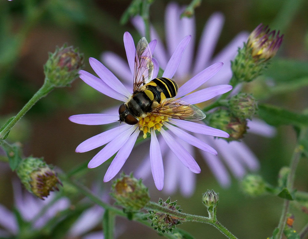 Syrphid fly on clasping aster (Symphyotrichum patens). Photo by Debbie Roos.