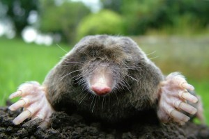 Moles have large paddle-like forefeet used for digging. Image by Michael David Hill, Wikimedia