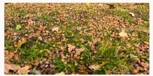 Eicheln, Herbst C