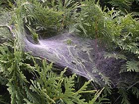 Agelinid spider web on shrubs