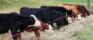 cattle feeding.