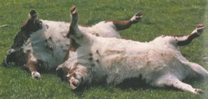 clost_dead cattle
