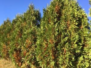 drought stricken evergreens