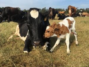 New baby calf_Cherry Research Farm Goldsboro