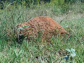 Red Imported Fire Ant mound in a field
