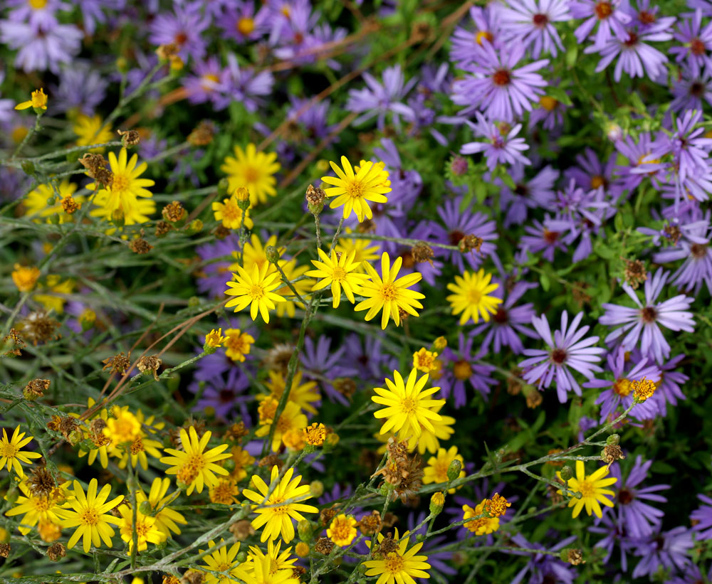 Narrowleaf silkgrass and 'October Skies' aromatic aster. Photo by Debbie Roos.