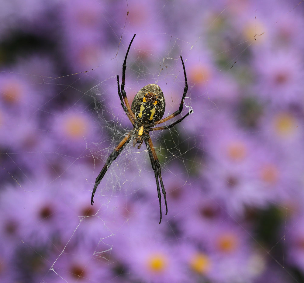 Yellow garden spider with asters. Photo by Debbie Roos.