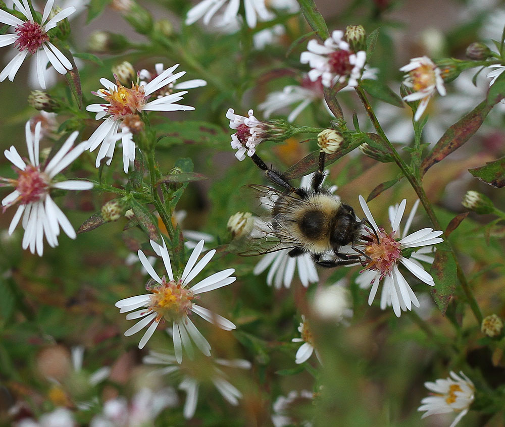 Bumble bee on frost aster. Photo by Debbie Roos.