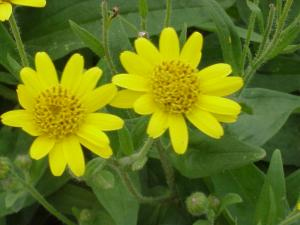 Medicinal herb research and yield estimates nc state extension arnica mightylinksfo