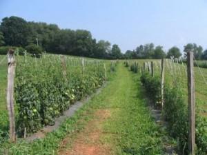 Tomato field plots