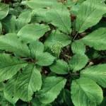 ginsengflower300