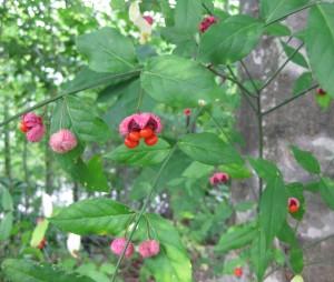 Hearts a burstin seed pod