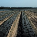 The Kinston planting was the only one on plastic with drip-irrigation.