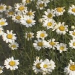 Pyrethrum blossoms