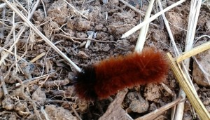 picture of wooly worm