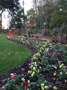 blooming border of pansies