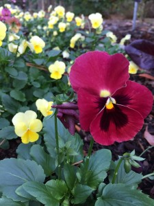pansy and border