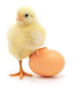 baby-chick-and-an-egg-259x300