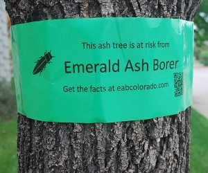 emeral ash borer