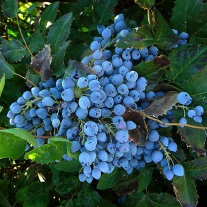 grape holly mahonia
