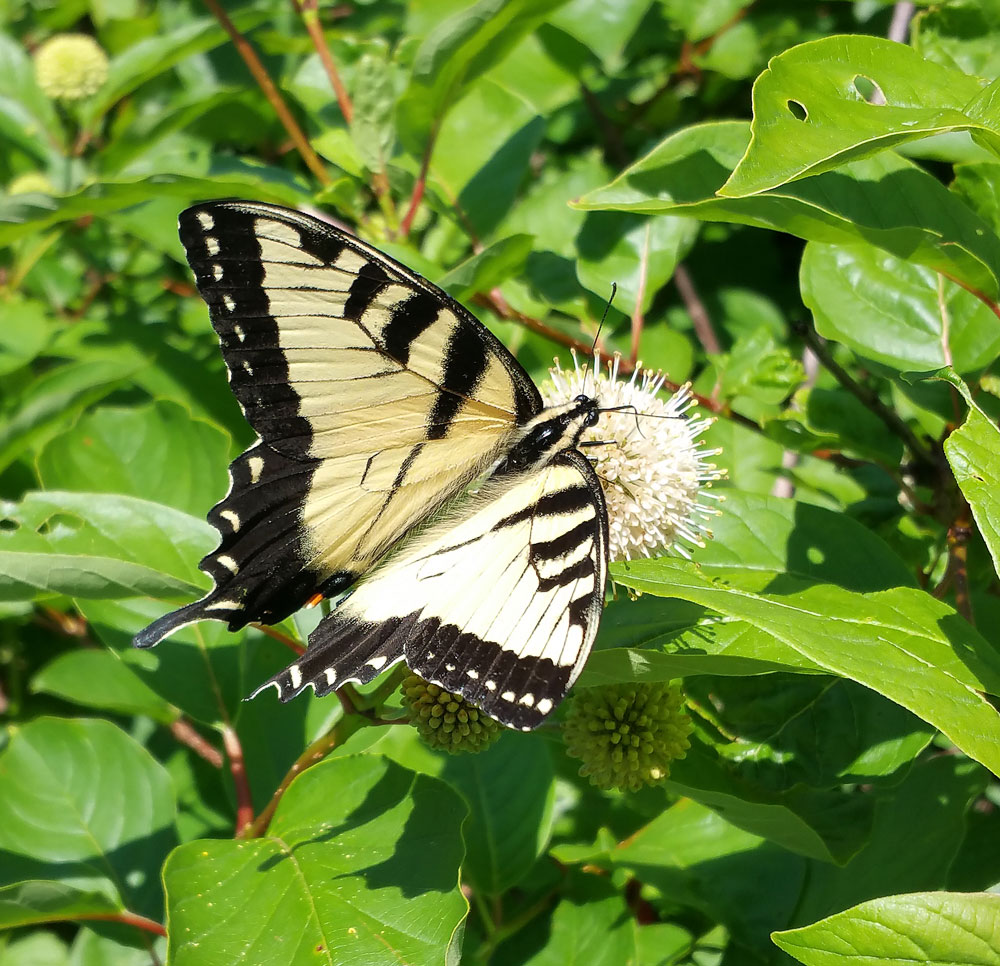 Tiger swallowtail on buttonbush. Photo by Debbie Roos.