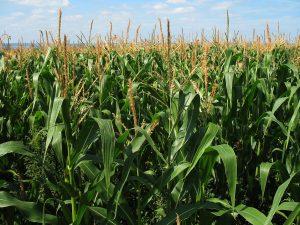 Corn growing in a field
