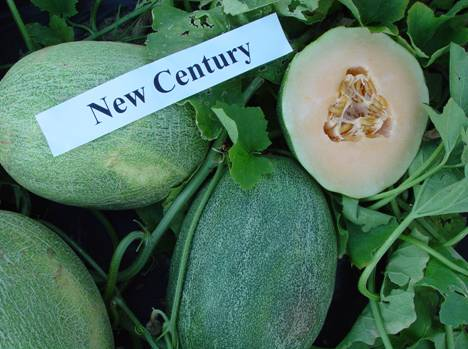 Photo 1: New Century, Hami melon