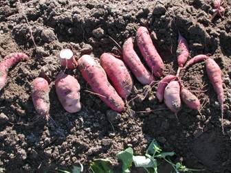 'Japanese' sweet potatoes