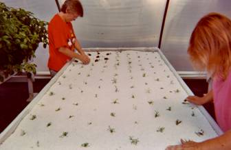 Setting Tarragon hydroponically