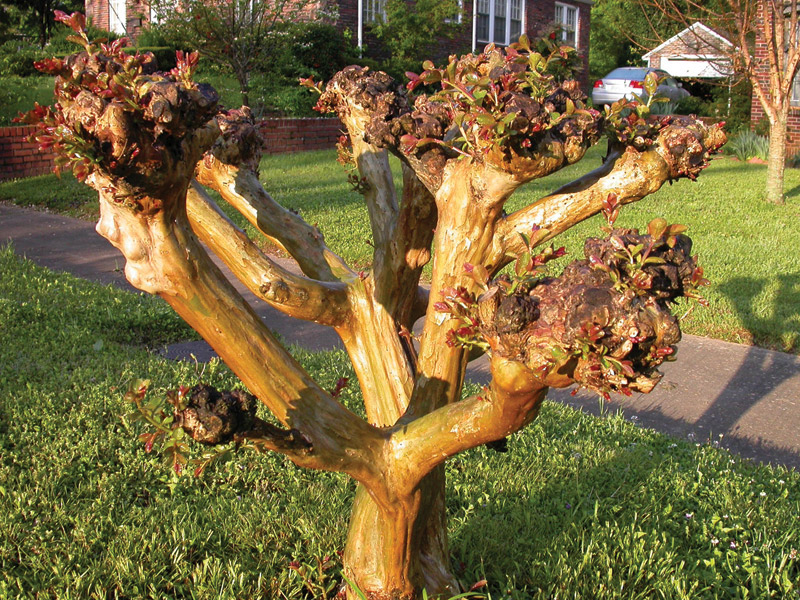 Wax Myrtle For